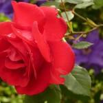 Różana maseczka oczyszczająca