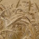 Czy można żyć bez pszenicy?