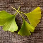 Miłorząb japoński pomaga w  koncentracji  i zapamiętywaniu