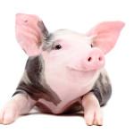 Czy człowiek nie posuwa się za daleko? Świnka GMO jako zwierzątko domowe