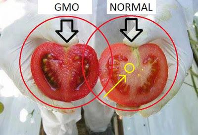 pomidor organiczny i pomidor GMO