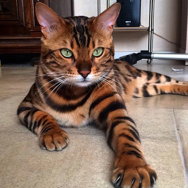 10-najpiekniejszych-kotow-na-swiecie-1
