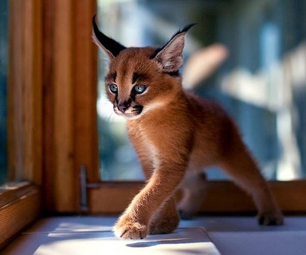 10-najpiekniejszych-kotow-na-swiecie-6