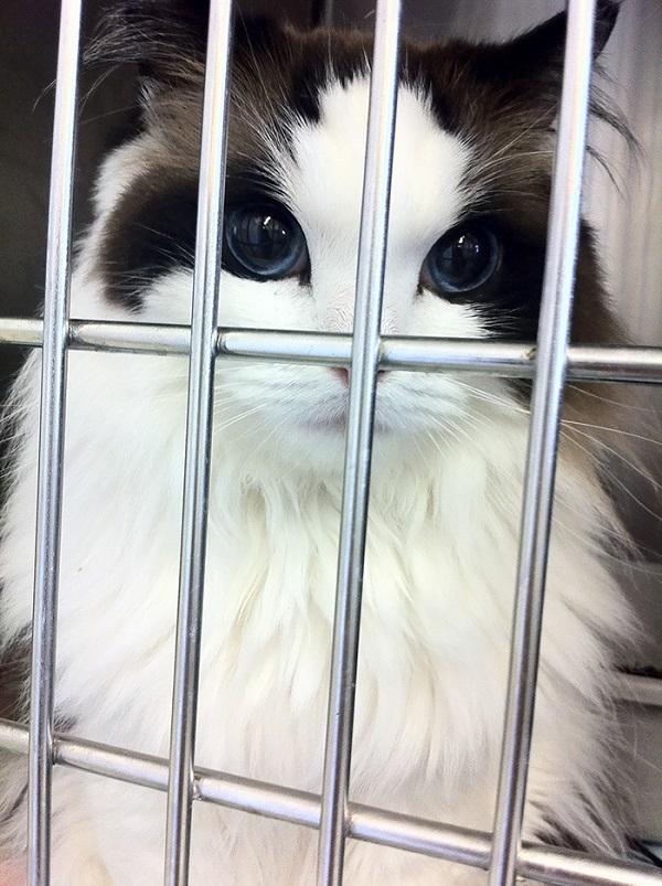 10-najpiekniejszych-kotow-na-swiecie-8